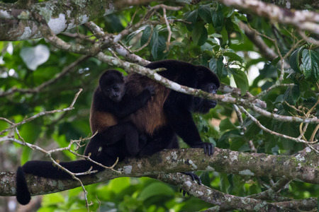 loving scene with a baby howler monkey hanging on his mothers back int he rainforest trees of Costa Rica