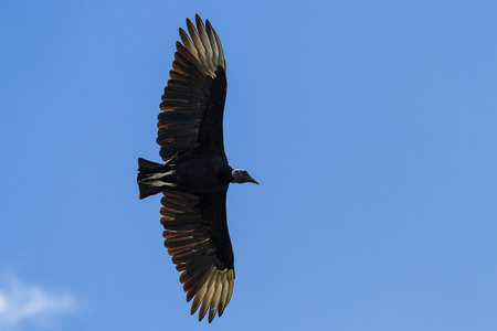 black vulture flying with his wings spread with a blue sky in the background
