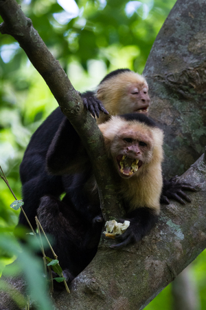 close up of a white faced monkey in the trees near the beach in Playa Nacascolo, Costa Rica