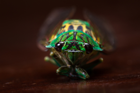 green cicada with golden wings on a dark wooden table