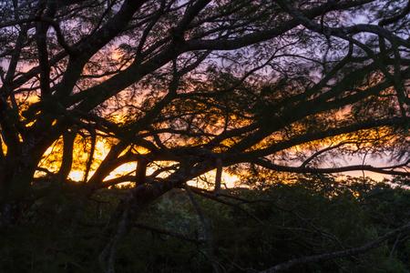 コスタリカのグアナカステの大木を通して彼らが風で移動すると葉に示す運動のビットと夕日