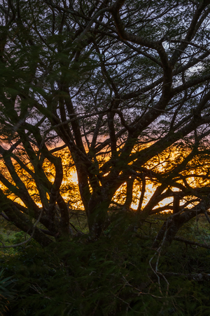 move in: beautiful sunset seen thru a large Guanacaste tree in Costa Rica with a bit of motion shown in the leaves as they move in the wind