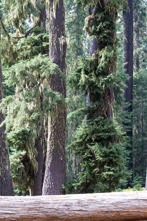 Peaceful grove of fir trees in Huckleberry Mountain in Southern Oregon
