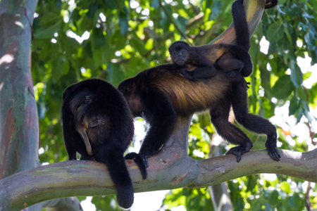 Mother howler walking on a tree branch with her baby hanging on