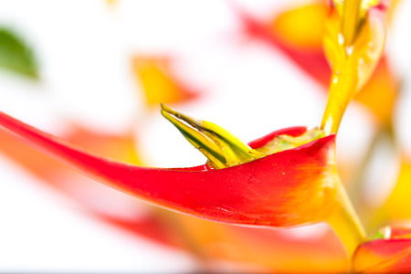 Colorful topical flower, heliconia close up picture with studio lighting as a background or detail shot Stok Fotoğraf