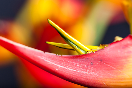 turismo ecologico: Colorful topical flower, heliconia close up picture with studio lighting as a background or detail shot Foto de archivo