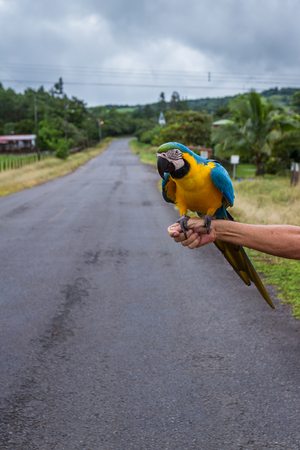 Close up of a large blue gold macaw perched on a hand in Costa Rica