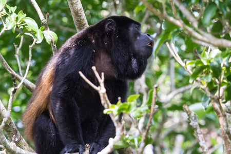 turismo ecologico: howler monkey up a tree in Guanacaste Costa Rica Foto de archivo