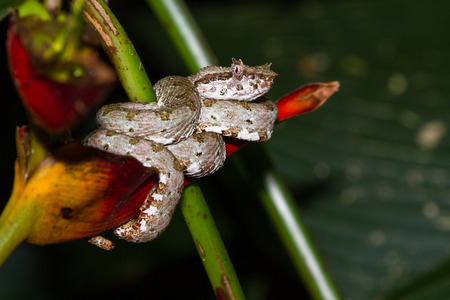 Close up of a eyelash viper wrapped around a tropical flower in Costa Rica Stock Photo
