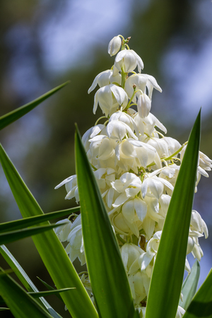 common plant in Central America the Yucca Gigantea or Itabo is used as an ingredient with a bitter flavor, close cup of the bloom here with a natural background Stock Photo