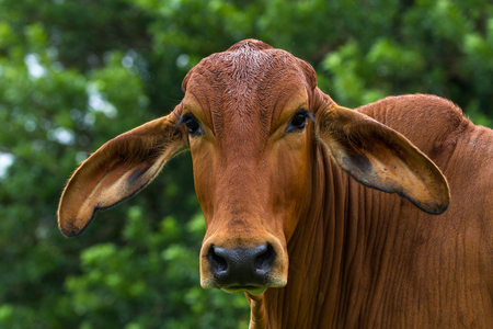 Portrait shot of a large young bull in Tropical Costa Rica