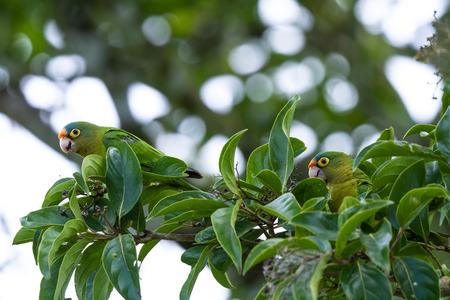 periquito: Perico frente naranja encaramado en una rama de árbol comiendo bayas en Guanacaste Costa Rica Foto de archivo