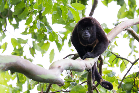 Adult male howler monkey walking across a large branch in the rainforest