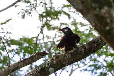 Close up of a Oropendola perched on a Guanacaste tree in tropical Costa Rica Imagens
