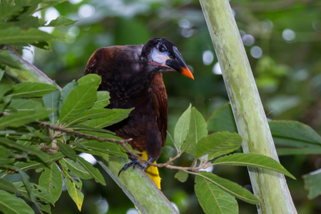Close up of a young Oropendola perched on a tree in Costa Rica Imagens - 88984964
