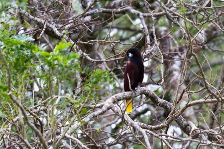 black oropendola perched on a jocote tree in Costa Rica Imagens - 95009390