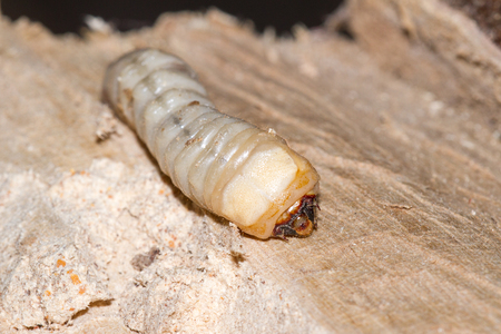 round headed borer larvae burrowed in a piece of tropical hardwood