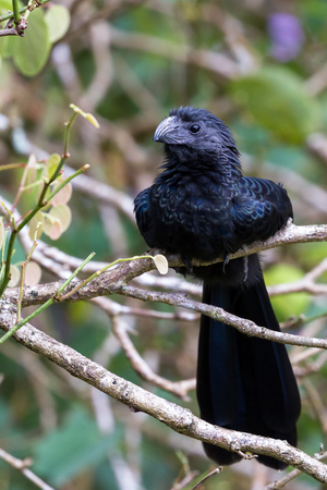 close up of a groove billed ani perched on a small branch in the rainforest of Costa Rica