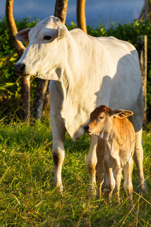 Pasture raised Brahman cattle in Guanacaste Costa Rica Stock Photo