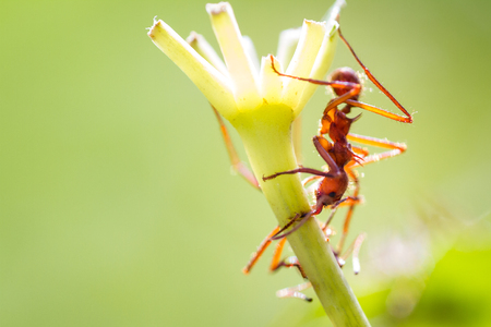Close up of a red leaf cutter ant focussed on stripping down the fresh green leves on the plants in tropical Costa Rica