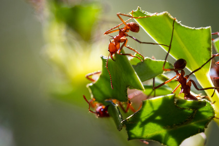 Close up of red leaf cutter ants focussed on stripping down the fresh greens on the plants in tropical Costa Rica