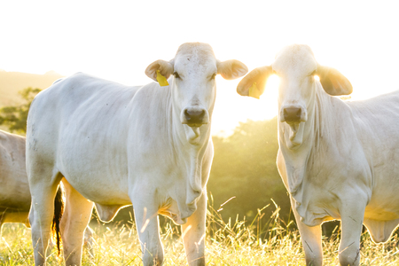 pasture raised brahman cattle in Guanacaste Costa Rica