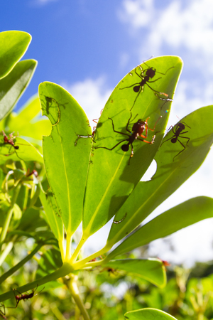 Leaf cutter ants stripping down a decorative plant in the Costa Rican rainforest Stock Photo