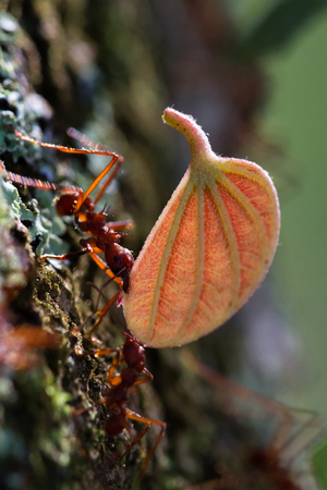 macro image of a red leaf cutter ant in Costa Rica carrying away a piece of leaf on a natural background