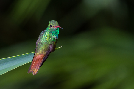 close up of a beautiful rufous tailed hummingbird perched on a green leaf with a natural out of focus background Stock Photo