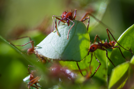 macro image of a red leaf cutter ant in Costa Rica cutting away at a leaf stem over a natural green background Stock Photo