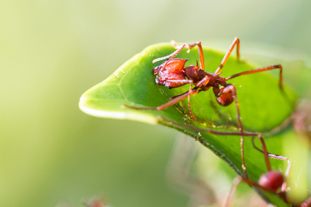 macro image of a red leaf cutter ant in Costa Rica cutting away at a leaf stem over a natural green background Stok Fotoğraf