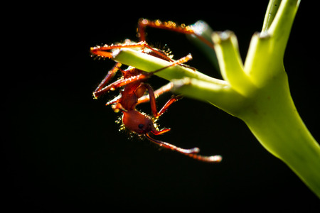 close up of a red leaf cutter ant on a green stem with a  dark background Stock Photo