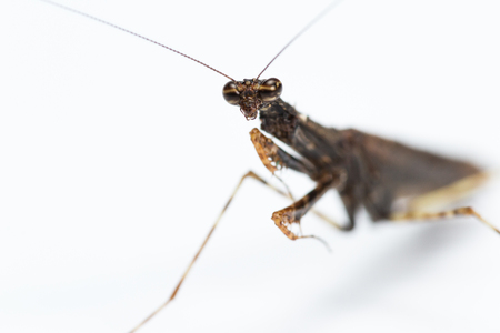 close up of a praying mantis of only 2 inches long and brown color isolated on a white background