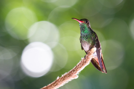 Close up of a rufous tailed hummingbird perched on a plant root with a blurred forest green background in Costa Rica