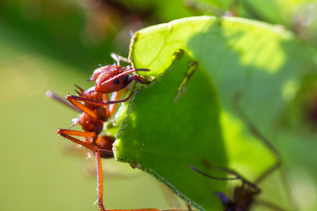 macro image of a red leaf cutter ant in Costa Rica carrying away a piece of leaf on a natural green background