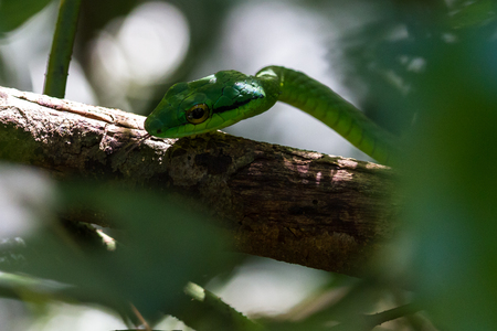 Close up of a parrot snake in the dry rainforest of Guanacaste, Costa Rica Stock fotó