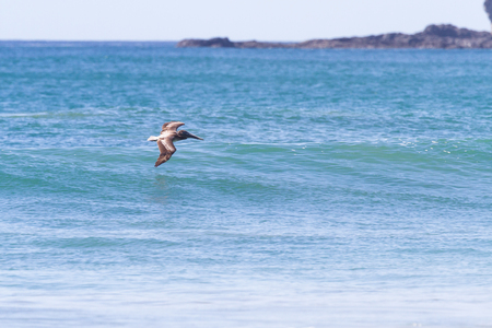 pelican flying above the waves in tropical costa rica