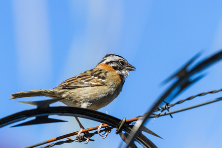 urban stripe headed sparrow perched on barbed wire surrounded by razor wire in Costa Rica