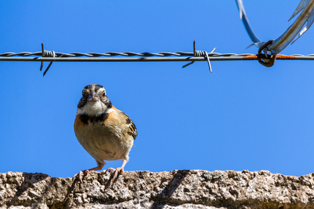 urban stripe headed sparrow perched on a wall with barbed wire surrounded by razor wire in Costa Rica Reklamní fotografie