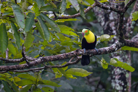 keel billed toucan perched on a tree branch in the rainforest of Costa Rica