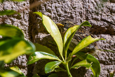 baby sparrow scared and perched against a wall in the sunshine of Costa Rica Stock Photo