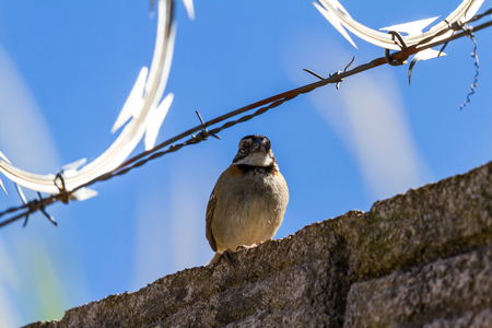 urban stripe headed sparrow perched on a wall with barbed wire surrounded by razor wire in Costa Rica Stock Photo