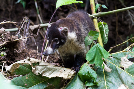 white nosed coati with a wound in his head near La Paz waterfall in Costa Rica. The would has been treated by a local veterinarian.