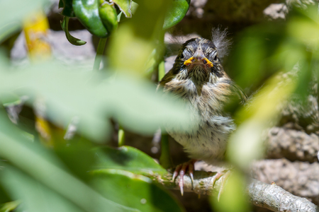 baby sparrow scared and perched behind a tropical plant in Costa Rica