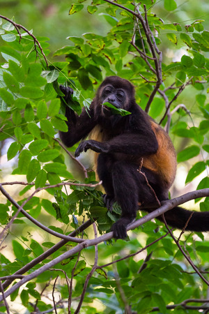 close up of a howler monkey up on  tree in the dry forest of Tola, Nicaragua