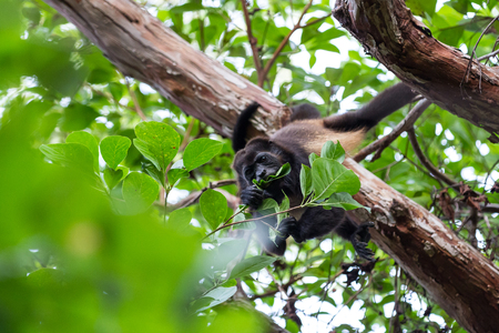 Adult howler monkey feeding on spring leaves in the dry forest section of Nicaragua Stock Photo
