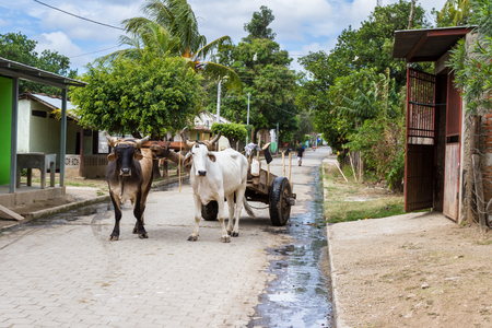 Tola, Nicaragua: Rural streets in Nicaragua with a pair of Ox strapped to a cart in the middle of the road. Stock Photo