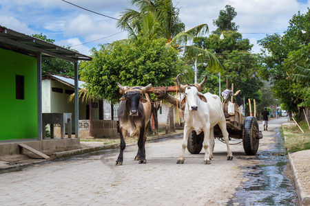 Tola, Nicaragua: Rural streets in Nicaragua with a pair of Ox strapped to a cart in the middle of the road. Stock Photo - 97321779