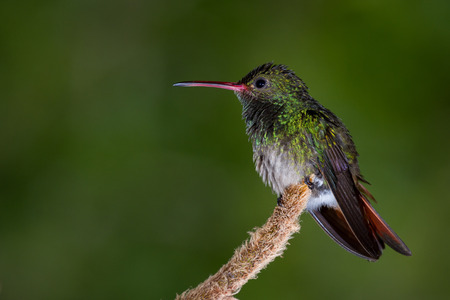 close up of a beautiful rufous tailed hummingbird perched on a small root with a natural out of focus background