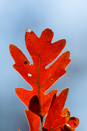 close up of a beautiful and colorful oak leaf in autumn